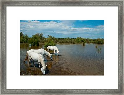 Three White Camargue Horses In A Lagoon Framed Print by Panoramic Images