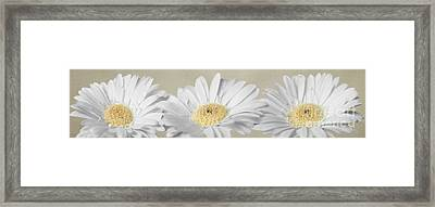 Three White Daisies Framed Print