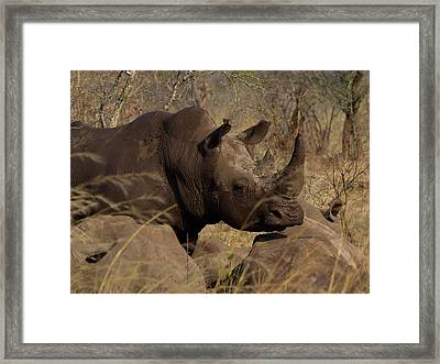 Three White Rhinoceros Ceratotherium Framed Print by Panoramic Images