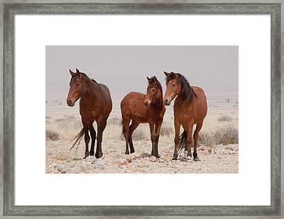 Three Wild Horses (equus Ferus Framed Print by Jaynes Gallery