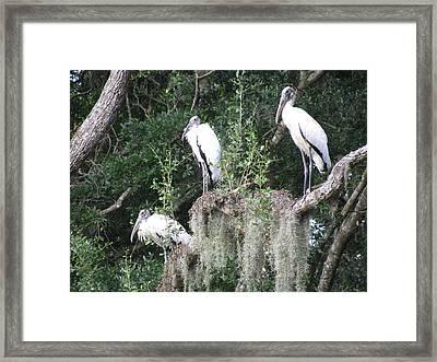 Three Wood Storks Framed Print