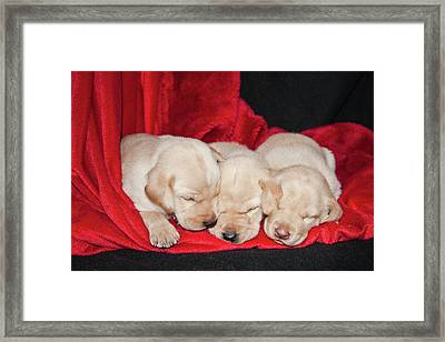 Three Yellow Labrador Retriever Puppies Framed Print by Zandria Muench Beraldo