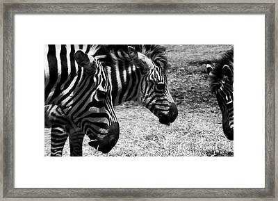 Framed Print featuring the photograph Three Zebras by Tom Brickhouse