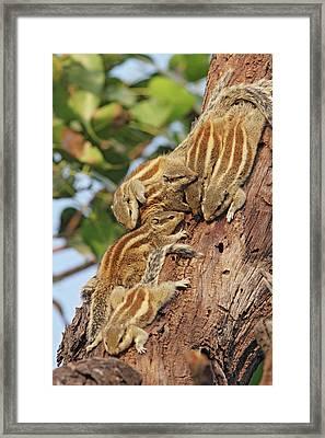 Threestriped Palm Squirrels Cuddled Framed Print