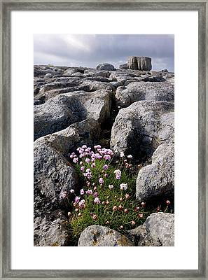 Thrift (armeria Maritima) On Limestone Framed Print by Bob Gibbons