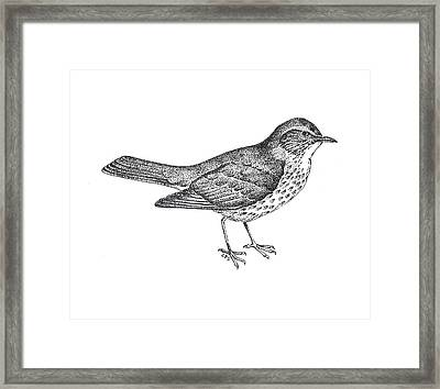 Thrush Bird Drawing Framed Print by Christy Beckwith