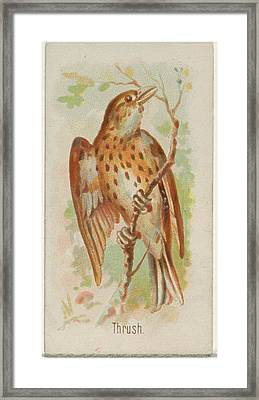 Thrush, From The Song Birds Framed Print by Allen & Ginter