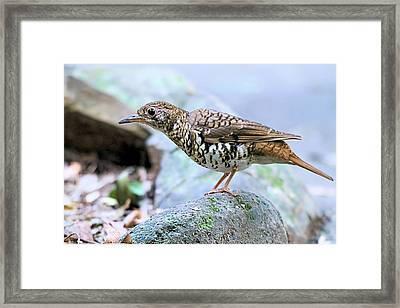 Thrush On Forest Floor Framed Print