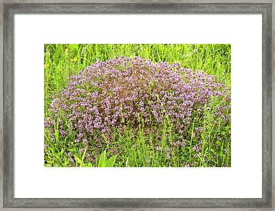 Thyme (thymus Glabrescens) On Anthill Framed Print by Bob Gibbons