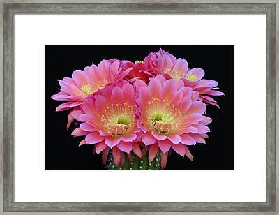 Tickled Pink Framed Print by Cindy McDaniel