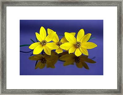 Framed Print featuring the photograph Tickseed Trio by Suzanne Stout