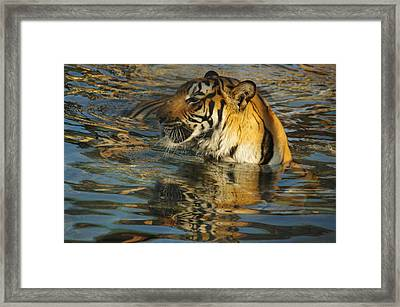 Tiger 3 Framed Print