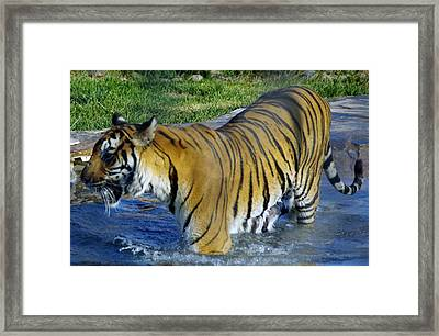 Tiger 4 Framed Print