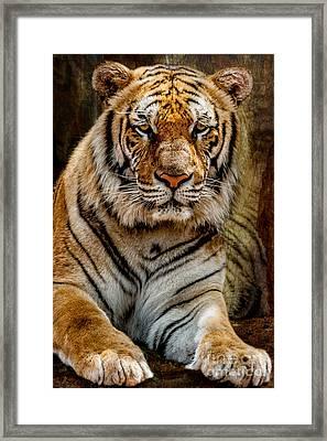 Tiger Framed Print by Adrian Evans