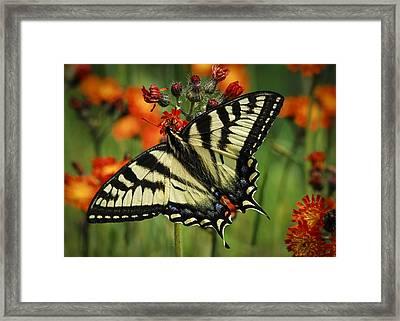 Tiger And Hawk Framed Print