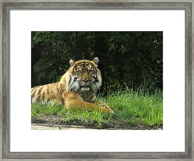 Framed Print featuring the photograph Tiger At Rest by Lingfai Leung