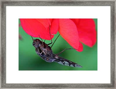 Tiger Bee Fly Framed Print by Juergen Roth