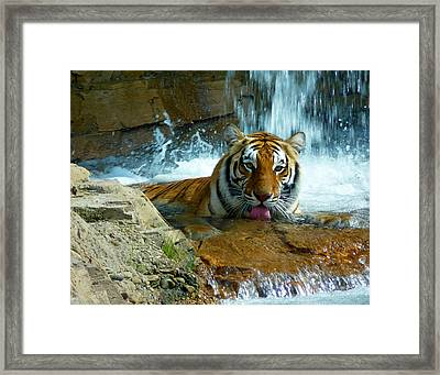 Tiger Cool Aid Framed Print by Susan Duda