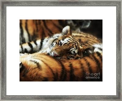 Tiger Cub Resting On Mom's Back Framed Print