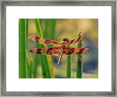 Tiger Dragonfly Framed Print