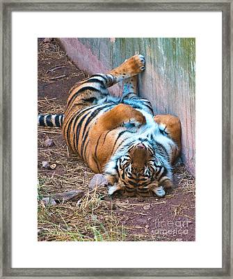 Tiger Dreams Framed Print by Jim Chamberlain