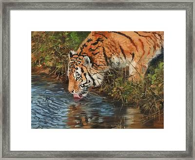 Tiger Drinking Framed Print by David Stribbling