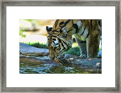 Tiger Drinking Water Framed Print by Paul Ward