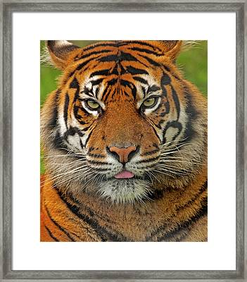 Tiger Eyes Framed Print by Paul Scoullar