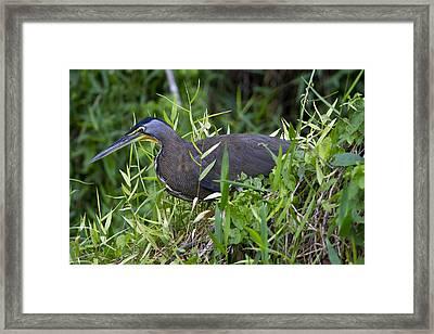 Tiger Heron 3 Framed Print
