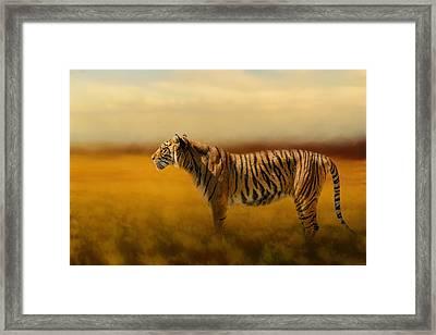 Tiger In The Golden Field Framed Print by Jai Johnson