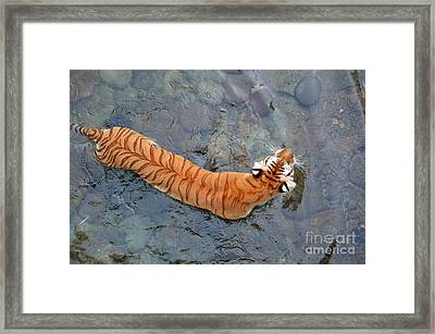 Framed Print featuring the photograph Tiger In The Stream by Robert Meanor