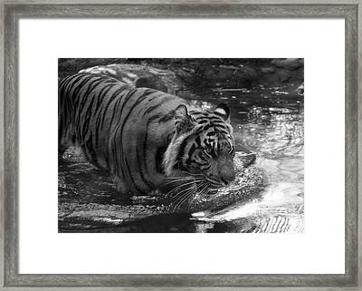 Tiger In The Water Framed Print by Lisa L Silva