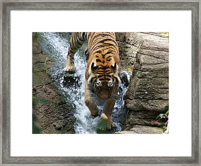 Tiger In The Waterfall Framed Print by Adam L