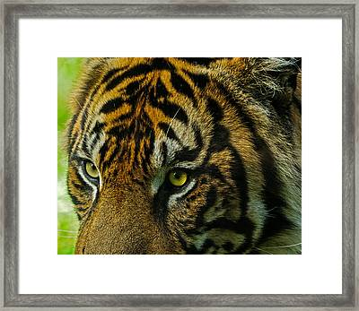 Framed Print featuring the photograph Tiger by John Johnson
