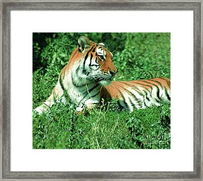 Tiger Framed Print by Kathleen Struckle