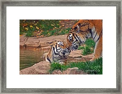 Tiger Kiss Framed Print by David Rucker