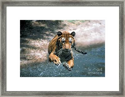 Tiger Leaping Framed Print by Mark Newman