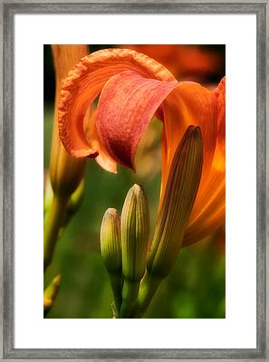 Tiger Lilly Framed Print by Bill Wakeley