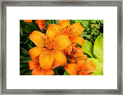 Tiger Lily After Morning Rain Framed Print