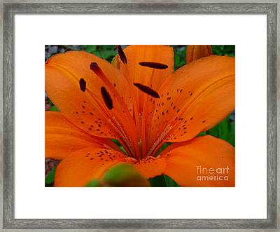 Framed Print featuring the photograph Tiger Lily by Bianca Nadeau