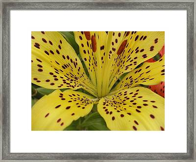 Tiger Lily Framed Print by Gregory Young