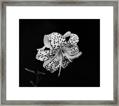Tiger Lily In Black And White Framed Print