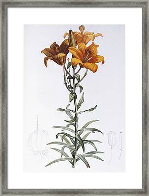 Tiger Lily Framed Print by Pierre Joseph Redoute