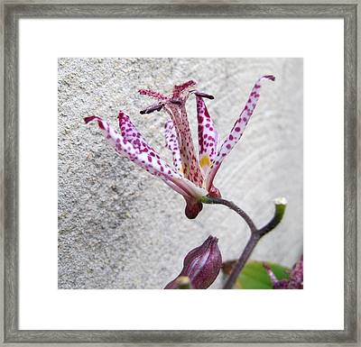 Tiger Lily Framed Print by Valia Bradshaw