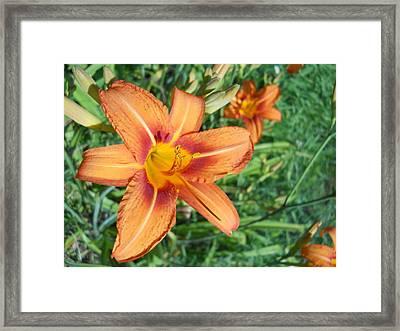 Tiger Lily Framed Print by Yolanda Raker