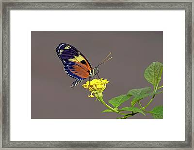 Tiger Longwing Butterfly On A Flower Framed Print
