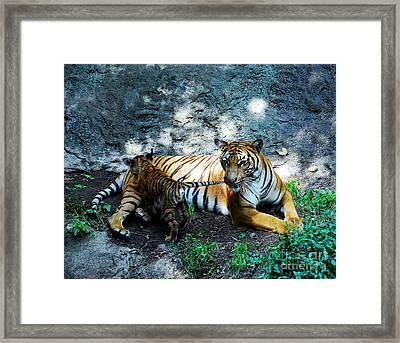 Tiger Love 1 Framed Print by Mel Steinhauer