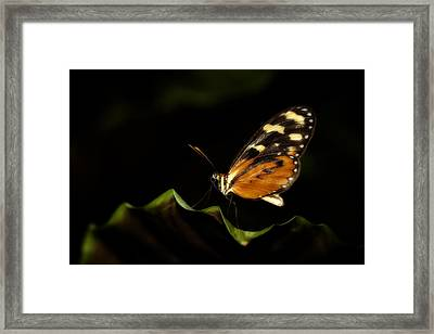 Framed Print featuring the photograph Tiger Monarch Butterfly by Zoe Ferrie