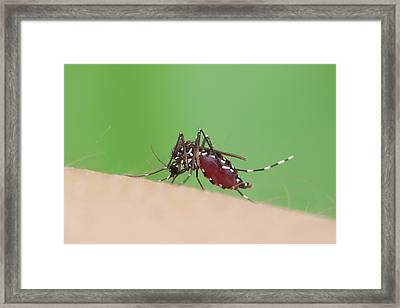 Tiger Mosquito Framed Print