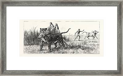 Tiger-netting In Bengal As The Tiger Shoulders His Victim Framed Print